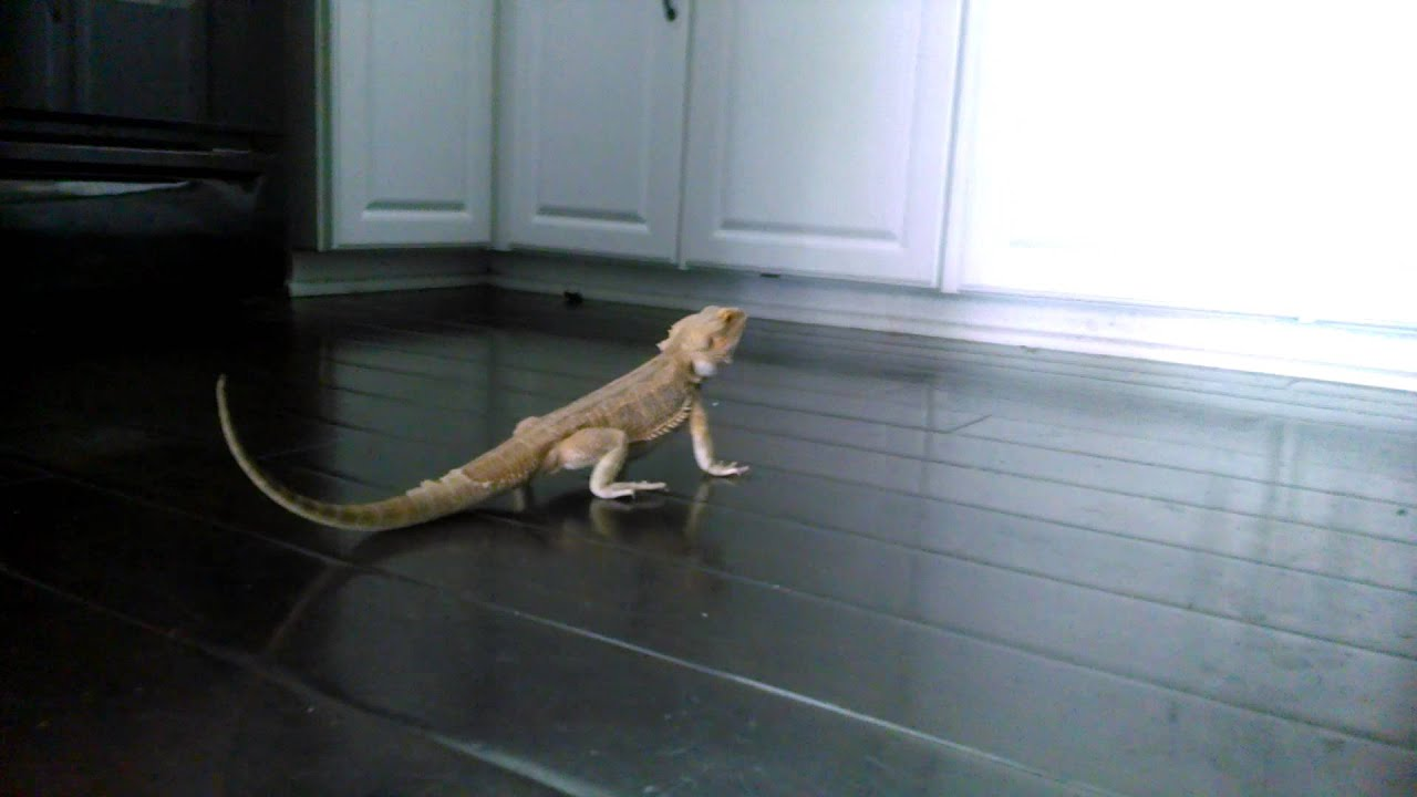 Bearded Dragon Running On Hard Wood Floor Youtube