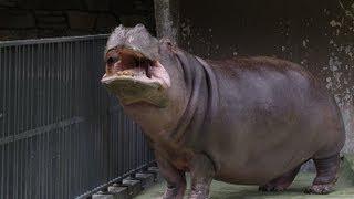 円山動物園のカバ、ドン(オス/43歳)。 1969年(昭和44年)7月15日生ま...