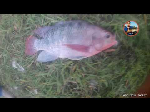 Fishing tilapia in houston tx nice red tilapia and ble for Is tilapia a man made fish