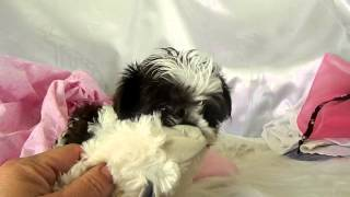 Tea Cup Shih Tzu Puppy