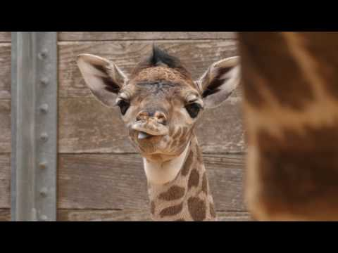 Thumbnail: Second Baby Giraffe in Two Weeks!