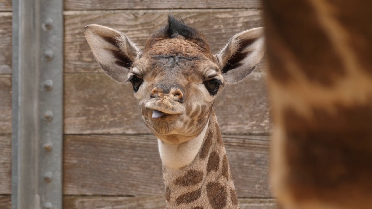 Second Baby Giraffe In Two Weeks