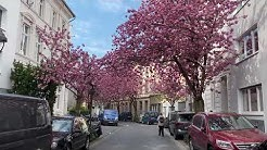 Kirschblüte Bonn 2020: WTF, CORONA? Breite Strasse, Altstadt 07.04.2020