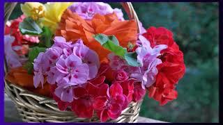 Секрет цветения герани раскрыт