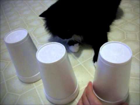 Loki the cat plays the cup game
