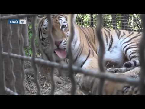 Τρία υπέροχα τιγράκια γεννήθηκαν σε ζωολογικό πάρκο της Κριμαίας