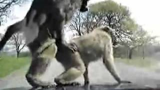 Suprise monkey butt sex on the carhood - hilarious video