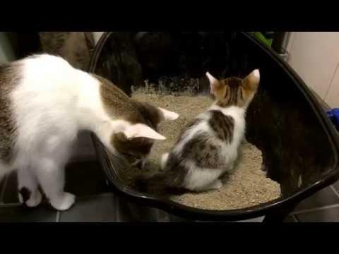 Super cute kitten Neo learn to use litter box. Follow little kitten Neo to grow up - day 38.