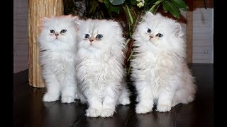 Shaded Silver Persian Kittens - 11 Weeks Old