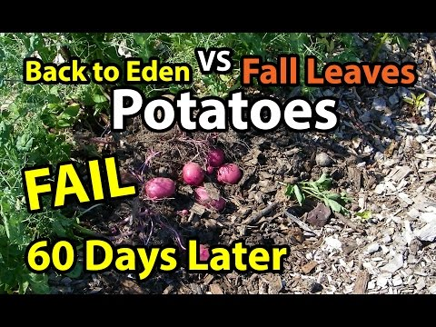 60 Days Later Potatoes- Back to Eden Organic Gardening Method 101 in Wood Chips VS Composting Leaves