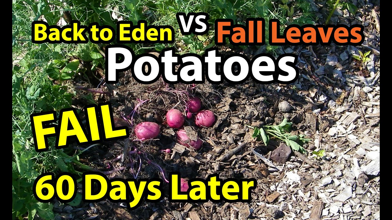 60 Days Later Potatoes Back To Eden Organic Gardening Method 101 In Wood Chips Vs Composting