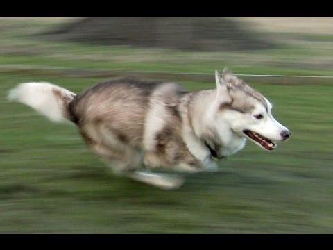 Fast Running Siberian Husky Quot Shasta Quot From Sweden Youtube
