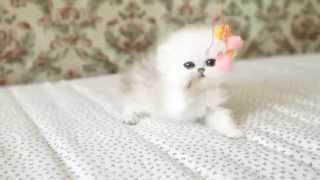 KELEVRA персидские шиншиллы, котята