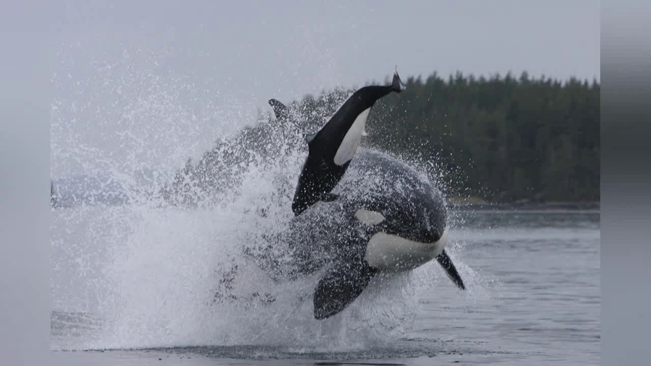 10 Chilling Videos Of Orcas Killer Whales Hunting