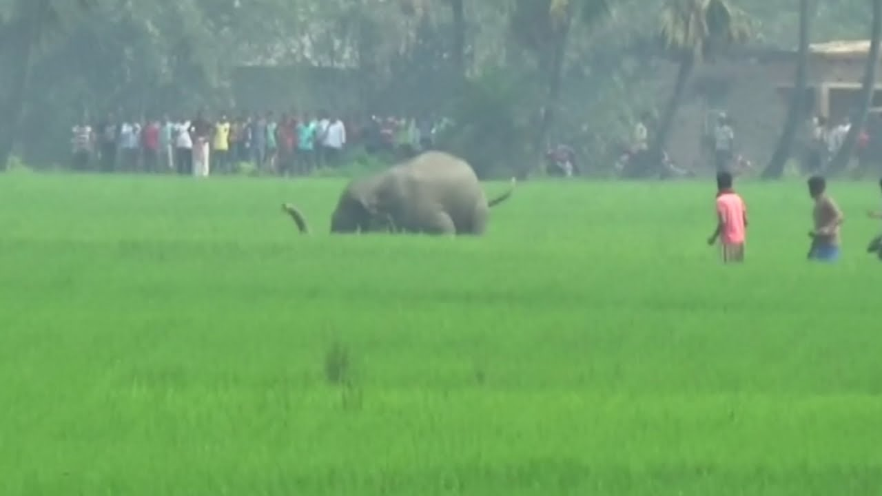 Elephant brutally kills man in India