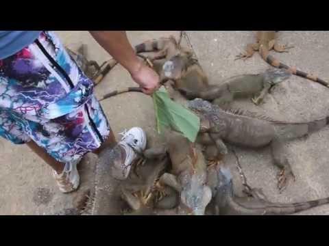 Feeding iguanas on the island of Roatan, Honduras