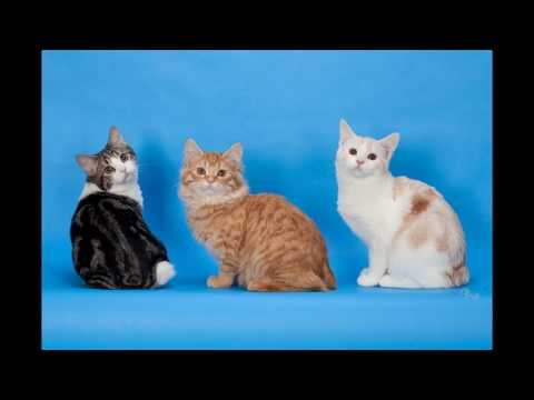 Cymric Cat and Kittens | History of This Charming Breed