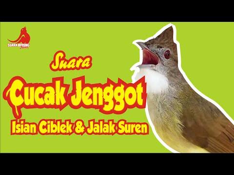 Mantap!!! Suara Burung Cucak Jenggot Isian Ciblek & Jalak Suren