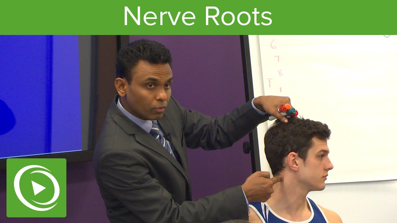 Nerve Roots: Plexus & Trunks  – MRCS | Lecturio