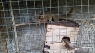 Tupai kelapa/bajing sedang membuat sarang dipenangkaran