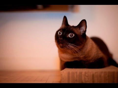 Йорская шоколадная кошка. Прекрасная черная кошка с пронзающим взглядом.Невозможно не влюбиться