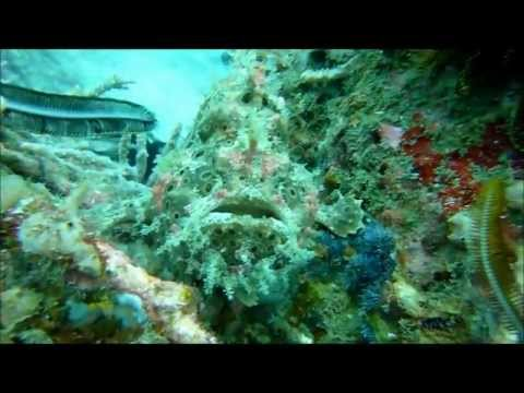 Frogfish Anglerfisch Jepun 00970 Travel Video