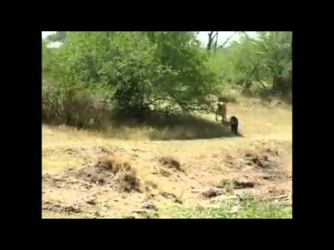 Khỉ đầu chó hùng dũng đuổi sư tử chạy thục mạng