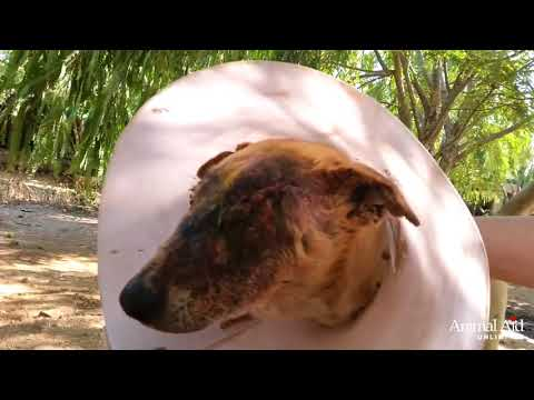 Injured rescue dog Isobel makes fast recovery at Animal Aid Unlimited, India