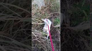 保護犬「イングリッシュセター」のマリー。 草の中にずんずん入ります・...