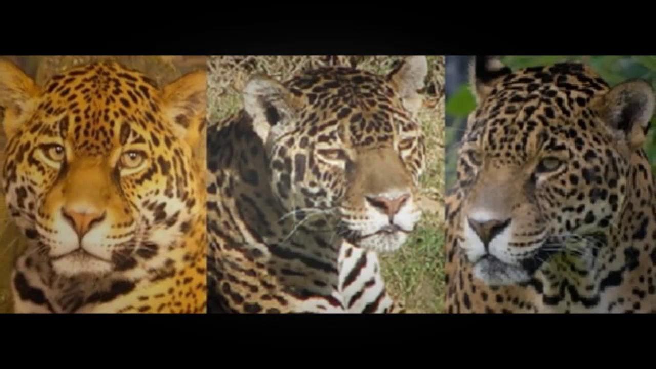 desafios - jaguar, leopardo y guepardo: diferencias - youtube
