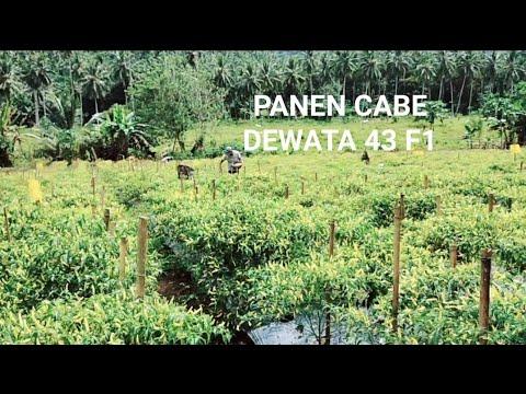 Panen Ke-2 Cabe Dewata 43 F1