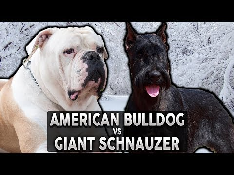 AMERICAN BULLDOG VS GIANT SCHNAUZER! The Best Guard Dog Breed For First Time Owners!