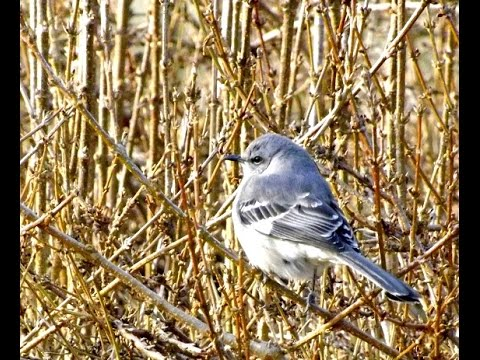 Mockingbird fledgling showing off his new wings on forsythia hill