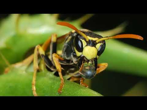 Scientists discover new Wasp species with a super big stinger and it's terrifying