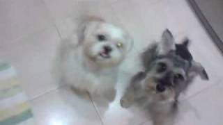 Skills Of My Shih Tzu And Schnauzer