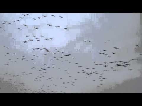 Sacramento Valley Goose Hunt