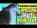 Perkutut Lokal Gacor Suaranya Bikin Perkutut Lain Pada Nyahut  Mp3 - Mp4 Download