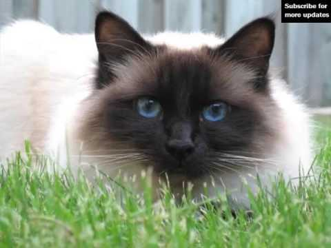 Birman | Set Of Cat Breed Pictures