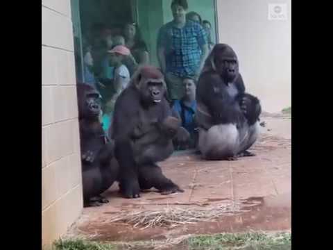 El Gallo Por La Mañana - Gorilas Tratando De Evitar Las Gotas De La Lluvia