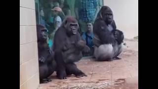 gorillas-try-to-avoid-the-rain