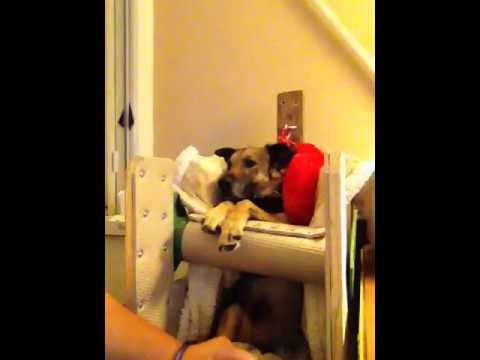 Bicycle The Dog In His Bailey Chair after his meal  YouTube
