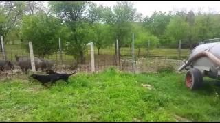 Slovački kopov štenci rad na gateru