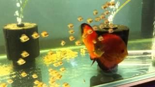 Sunny discus centre in Hong Kong aquarium fish farm