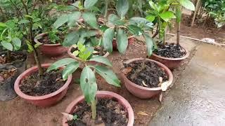 Hướng dẫn trồng bơ trong chậu nhanh ra quả - Caycanhhaidang.com