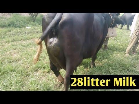 FOR SALE - PRICE 3 5 Lakh  Murrah Buffalo @ Avtar Singh