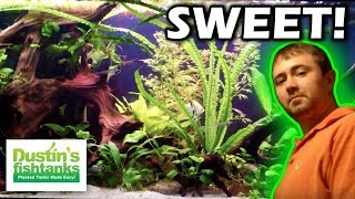 Easy Beginner Aquarium Plant, Bryan's Planted Aquariums, Species Sunday Foxtail