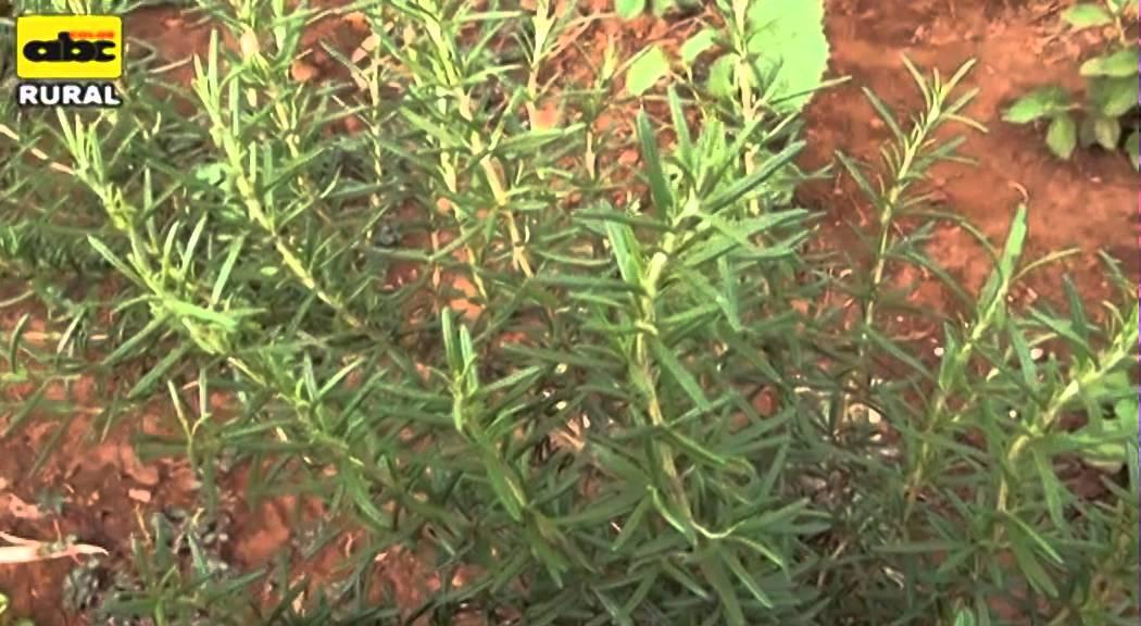 Cultivo y combinaci n de plantas medicinales youtube for Plantas ornamentales y medicinales