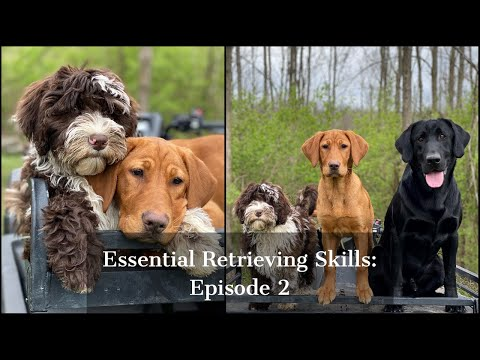 Labrador Retriever | Essential Training Skills Episode 2