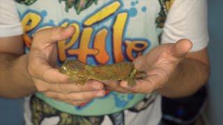 Video I Rescued a Gecko off of Kijiji download MP3, 3GP, MP4, WEBM, AVI, FLV Agustus 2018