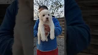 Шикарный малыш щенок  алабая  30 дней ( купить щенка )